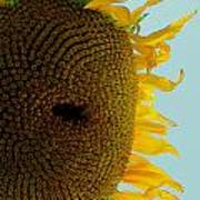 Peak A Boo Sunflower Art Print