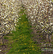 Pear Blossom Lane Art Print