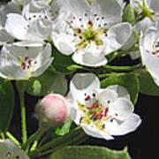 Pear Blossom Special Art Print
