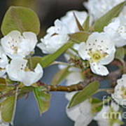 Pear Tree Blooms Art Print