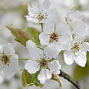 Pear Tree White Flower Blossoms Art Print