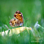 Pearl Crescent Butterfly Square Grass Art Print