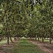 Pecan Orchard Sahuarita Arizona Art Print