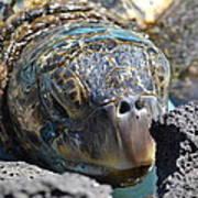 Peek-a-boo Turtle Art Print