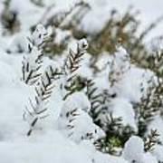 Peeking Through The Snow Art Print