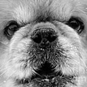 Pekingese Puppy Art Print