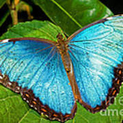 Peleides Blue Morpho Art Print