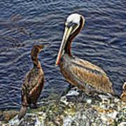 Pelican And American Black Duck Art Print