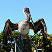 Pelican At Rest Art Print