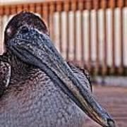 Pelican Eye Art Print