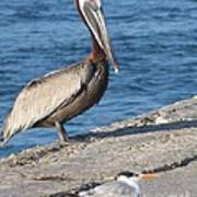 Pelican Eyes Seagull Art Print