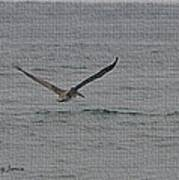 pelican Flying Low Art Print