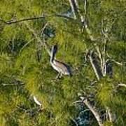 Pelican In The Trees Art Print