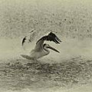 Pelican Landing In Black And White Art Print by Thomas Young