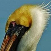 Pelican Mohawk 1/13 Art Print
