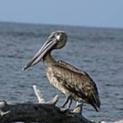 Pelican On Driftwood Art Print