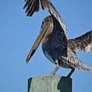 Pelican Stretch Art Print