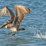 Pelican Taking Off Art Print