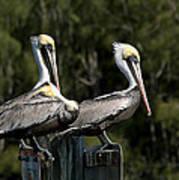 Pelican Threesome Art Print