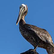 Pelican Watch Art Print