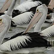 Pelicans Galore Art Print