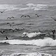 Pelicans Lunching At Ft. Stevens Oregon Art Print