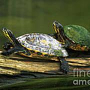 Peninsula Cooter Turtles Art Print