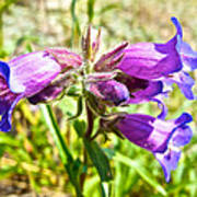 Penstemon On Miles Canyon Trail To Canyon City Near Whitehorse-yk  Art Print