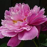 Peony Blossoms Art Print