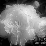 Peony Flower Phases Black And White Contrast Art Print
