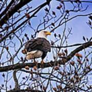Perched Bald Eagle Art Print