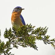 Perched Eastern Bluebird Art Print