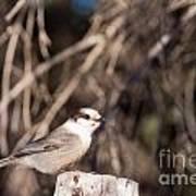 Perched Grey Jay Perisoreus Canadensis Watching Art Print