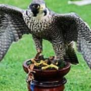 Peregrine Falcon # 1 Art Print