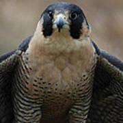 Peregrine Falcon Art Print