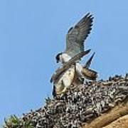 Peregrine Falcons - 5 Art Print