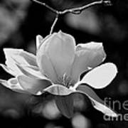 Perfect Bloom Magnolia In White Art Print