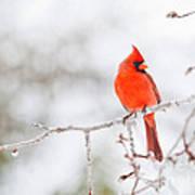 Perfect Cardinal Art Print