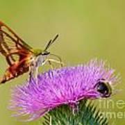 Perfect Hummingbird Moth Art Print