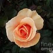 Perfect Peach Rose Art Print