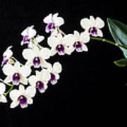 Perfect Phalaenopsis Orchid Poster Art Print