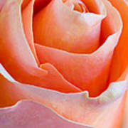 Perfection In A Peach Rose Art Print