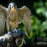 Perigrine Falcon Art Print