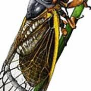 Periodical Cicada Art Print
