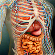 Perspective View Of Human Body, Whole Art Print
