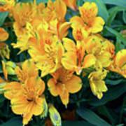 Peruvian Lily Alstroemeria Aurantiaca Photograph By Neil Joy Science Photo Library