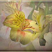 Peruvian Lily Framed Art Print