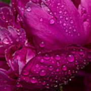 Petals And Drops I Art Print