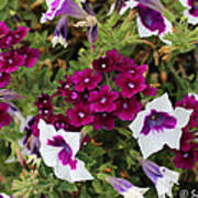 Petunias And Verbena I Art Print