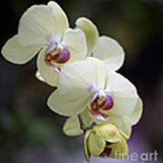Phal Ming Chao Dancer 0754 Art Print